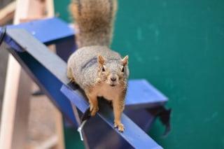 UNO UCB squirrel study